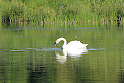 Swans and many other water birds enjoy the backwater bayous that exist upstream from Hodenpyl Dam on the Manistee River in Wexford County, Michigan.