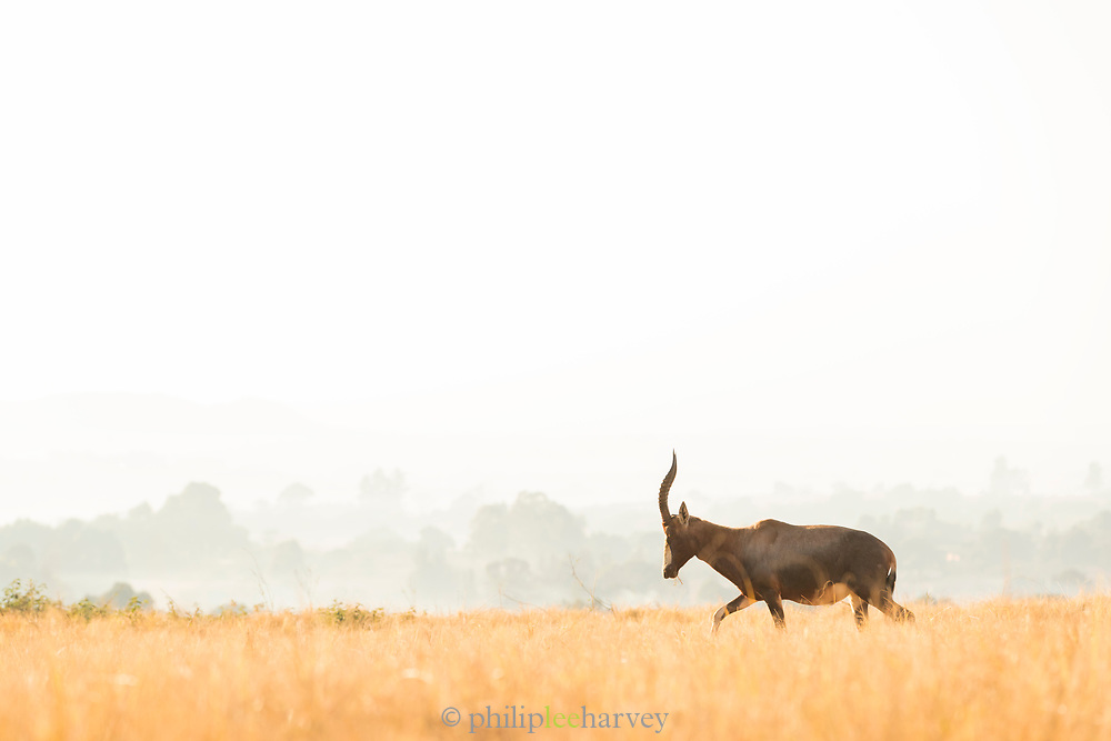 View of impala walking on savannah, Mlilwane Wildlife Sanctuary, Eswatini
