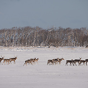 Sika deer, Notsuke Peninsula, Hokkaido, Japan