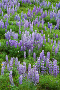 Silvery Lupine wildflowers in bloom in Shoshone National Forest, Wyoming