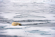 Polar beer (Ursus maritimus) waiting for a seal (meal) to appear. Packice at 81.5 degrees north off Spitsbergen, Svalbard, Norway