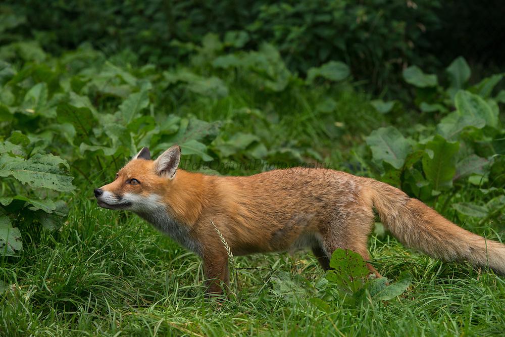 Red Fox (Vulpes vulpes)<br /> Secret World Wildlife Rescue Center<br /> Somerset<br /> England<br /> UK<br /> captive