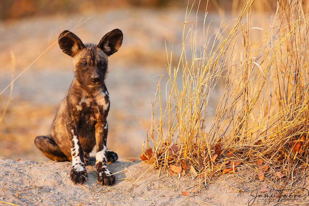 An endangered African wild dog pup(Lycaon pictus) sitting at the entrance to the den, Khwai River, Moremi Reserve, Botswana, Africa