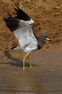 Grey-headed Lapwing, Vanellus cinereus, spreading wings in water in Inner Mongolia, China