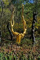 France, Ille-et-Vilaine (35), Paimpont, l'arbre d'or (artiste François Davin) dans le Val-sans-Retour en foret de Broceliande // France, Ille-et-Vilaine (35), Paimpont, The Golden Tree (Artist François Davin) in the Broceline Forest (Broceliande), Val sans Retour