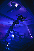 """Night watchman at the American Museum of Natural History in New York shines his light on a T. rex while making rounds.<br /> <br /> <br /> T. Rex, """"tyrant lizard king,"""" was one of the largest-ever meat eating land animals.  The bi-pedal giant grew to some 40 feet (12 meters) and weighed up to 7 US tons (6.5 metric tons) and small two-fingered hands that were actually surprisingly strong."""