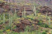 Saguaro Cactus and Brittlebush in the Tucson Mountains, Saguaro National Park, Arizona