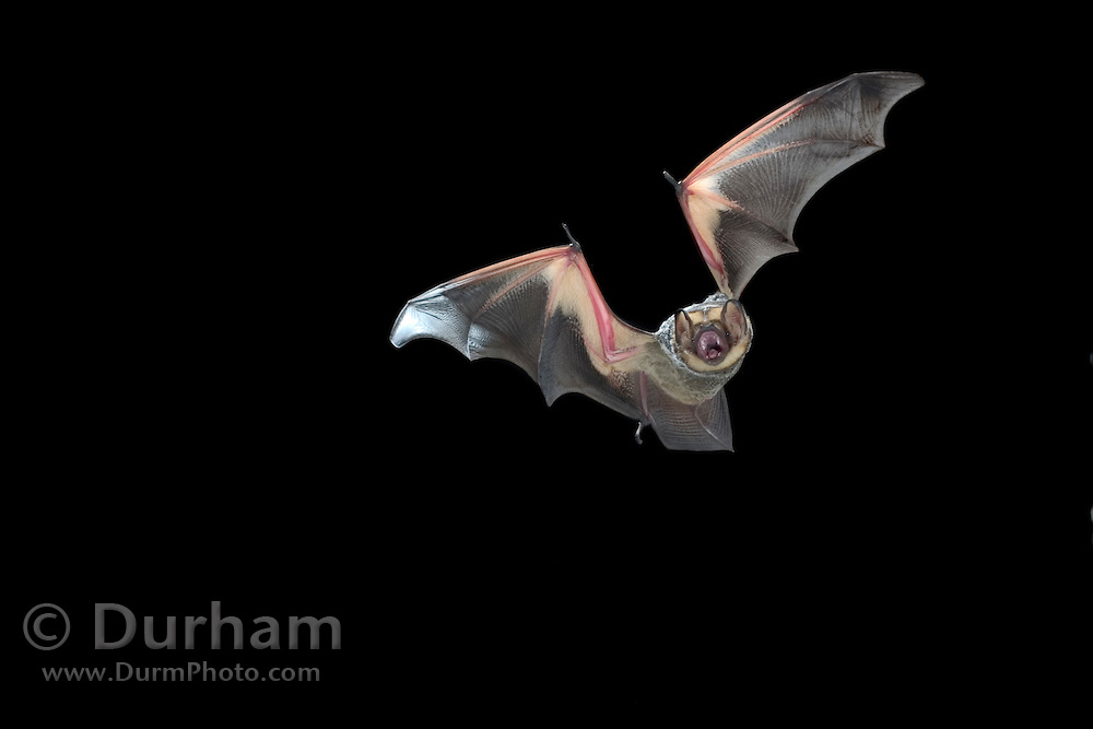 A male hoary bat (Lasiurus cinereus) flying at night, near Pine Creek in the John Day Fossil Beds National Monument, Clarno Unit, Oregon.