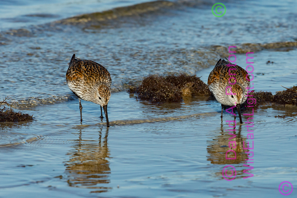 Dunlins search for food on wave-washed shore, Gulf Coast, Florida, © David A. Ponton