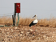 Israel, Coastal plains, White Stork (Ciconia ciconia) on the ground