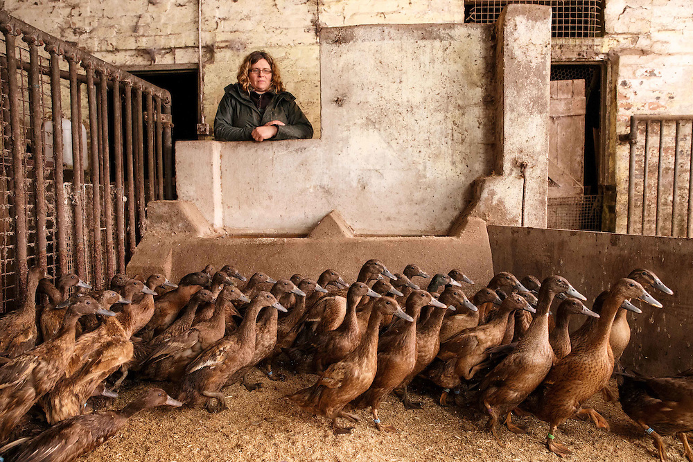 Jane Harrower with some of her Khaki Campbell laying ducks in the shed at her farm Craig Vern Poultry in Balfron. <br /> <br /> Jane and her husband Craig only found out about the emergency bird flu measures on social media.. and they are registered poultry keepers.  They now worry about whether they can market their eggs as free range now.<br /> Picture Robert Perry for The Herald and Evening Times 7th Dec 2016