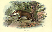 Fox (Canis vulpes) From the book ' A hand-book to the British mammalia ' by  Richard Lydekker, 1849-1915  Published in London, by Edward Lloyd in 1896