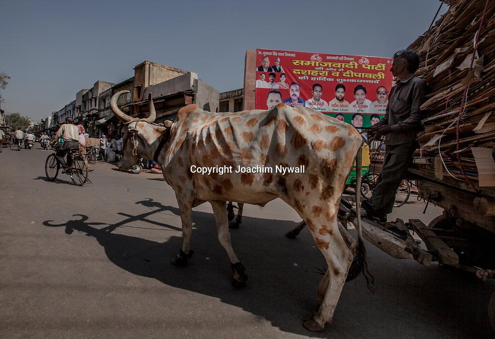 2016 10 20 Agra India Uttar Pradesh<br /> Centrala Agra<br /> Runt moskeen Färgad ko<br /> ...............................................................<br /> <br /> FOTO : JOACHIM NYWALL KOD 0708840825_1<br /> COPYRIGHT JOACHIM NYWALL<br /> <br /> ***BETALBILD***<br /> Redovisas till <br /> NYWALL MEDIA AB<br /> Strandgatan 30<br /> 461 31 Trollhättan<br /> Prislista enl BLF , om inget annat avtalas.
