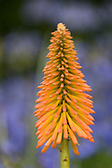 Kniphofia 'Victoria'  with yellow and orange petals in front of agapanthus in the Savill Garden, Surrey, UK
