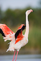 Greater Flamingo (Phoenicopterus roseus) in lagoon, flapping wings, Pont Du Gau, Camargue, France