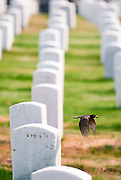 A robin with food in its mouth flies between gravestones in the San Francisco National Cemetery.