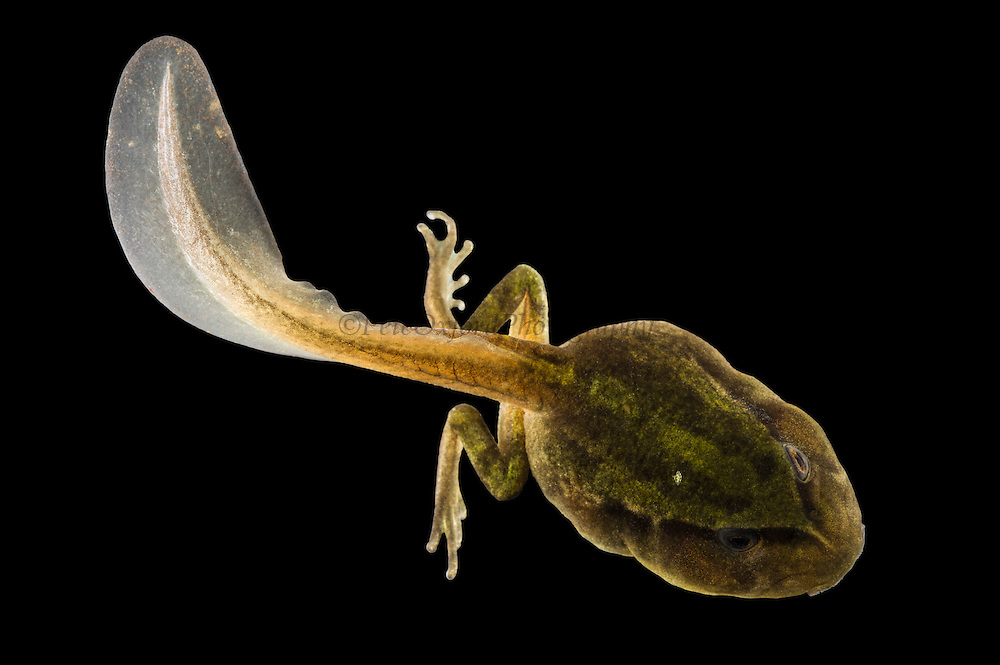 Andean Marsupial tree frog(Gastrotheca riobambae) tadpole<br /> CAPTIVE<br /> Central & north Ecuador<br /> ECUADOR. South America<br /> Threatened species due to habitat loss<br /> RANGE: Ecuador<br /> Andean & inter andean valleys north & central Ecuador. 2,200-3,500m.<br /> Endangered declining populationAndean Marsupial tree frog (Gastrotheca riobambae) tadpole<br /> CAPTIVE<br /> Central & north Ecuador<br /> ECUADOR. South America<br /> Threatened species due to habitat loss<br /> RANGE: Ecuador<br /> Andean & inter andean valleys north & central Ecuador. 2,200-3,500m.<br /> Endangered declining population