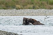 Brown bears play fight in the lower lagoon at the McNeil River State Game Sanctuary on the Kenai Peninsula, Alaska. The remote site is accessed only with a special permit and is the world's largest seasonal population of brown bears in their natural environment.