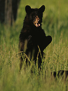 Young Black Bear stands up to get a better look in a field in Smoky Mountains N.P.