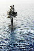 One cypress tree growing in a lake.