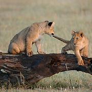 African Lion (Panthera leo) cubs playing on a log in Masai Mara National Reserve, Kenya, Africa.