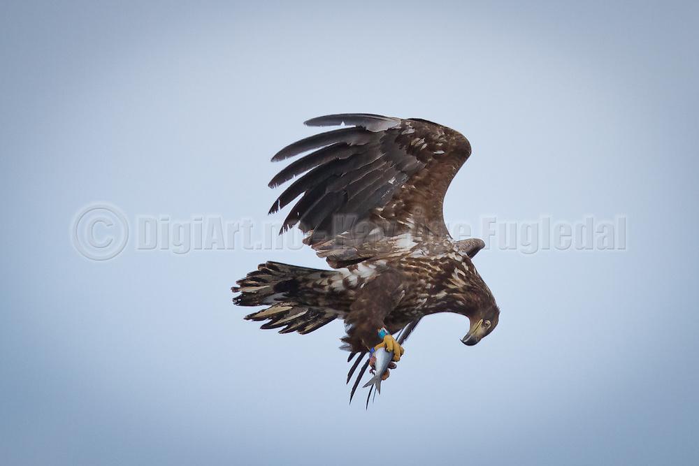 Denne Havørnen har nettopp stupt og fanget en Sild | This White-taled Eagle have just cought a Herring.