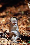 Young vervet monkey, Zimbabwe, Africa