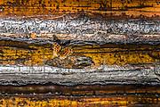 Moth on log cabin exterior wall, afternoon light, September, Schoolcraft Lake, Hubbard County, Minnesota, USA