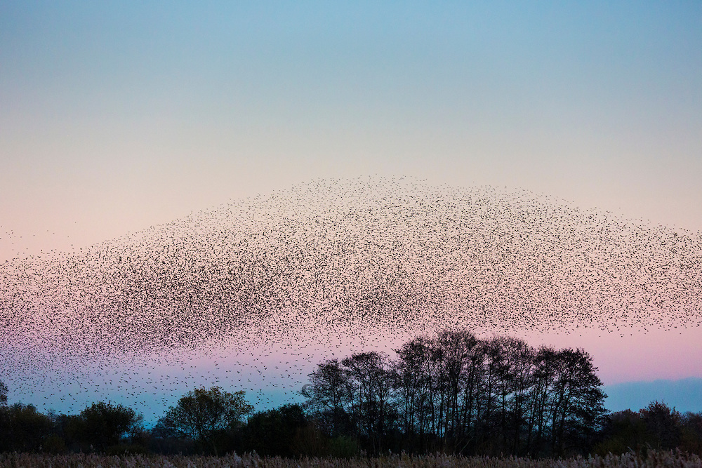 Spectacular murmuration of starlings display thousands of birds in  flight cloud pattern before sunset roosting in marshland UK
