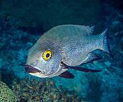 Black lip on Joelle's Reef, Papua New Guinea