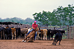 Texas cowboy on cutting horse cutting calf from herd in the corral