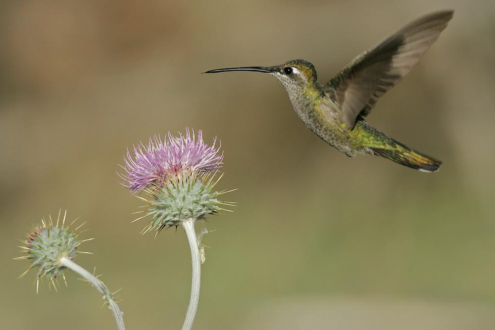 Magnificent Hummingbird - Eugenes fulgens - female