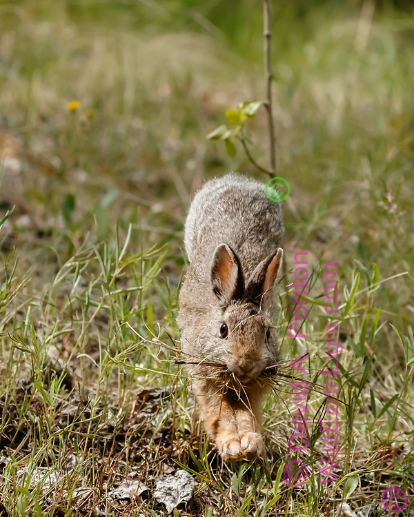 Mountain cottontail bounds across meadow with materials for its burrow, Jemez Mountains, NM, © David A. Ponton