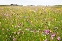 Orchids, Ragged Robin, Red Clover and buttercups. Dactylorhiza fuchsii subsp. fuchsii