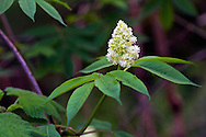 A Red Elderberry Flower (Sambucus racemosa) at Campbell Valley Park in Langley, British Columbia, Canada