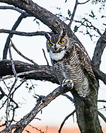 A Great Horned Owl (Bubo virginianus) in a Mesquite, hunting in late afternoon. (Tucson, Arizona)
