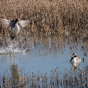 Pintail ducks on the waters of a small pond in Bosque del Apache NWR. New Mexico.