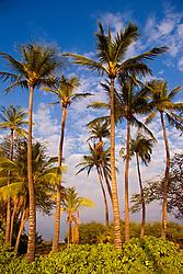 Coconut Palms, Cocos nucifera, and Naupaka, Scaevola sericea, Anaehoomalu or `Anaeho`omalu Beach, Waikoloa, Big Island, Hawaii, Pacific Ocean