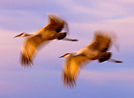 Sandhill cranes in flight at Bosque del Apache National Wildlife Refuge.