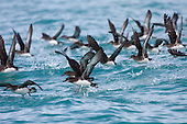 Hutton's Shearwater - Pictures - Photos