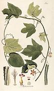 Hand painted botanical study of a Modecca lobat flower anatomy from Fragmenta Botanica by Nikolaus Joseph Freiherr von Jacquin or Baron Nikolaus von Jacquin (printed in Vienna in 1809)