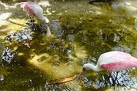 Bali, Batubulan. Taman Burung, Roseate Spoonbill.