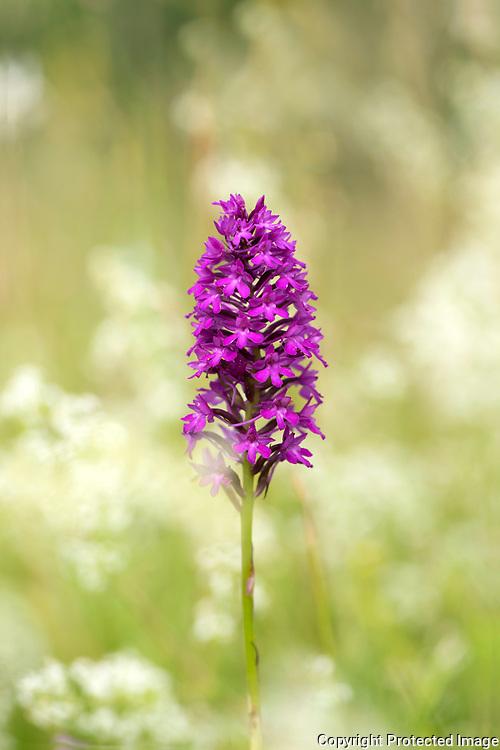 Pyramid Orchid, Anacamptis pyramidalis, Lullingstone Country Park, Kent UK