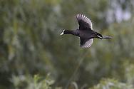 Eurasian Coot, Fulica atra, Danube delta rewilding area, Romania