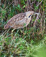 American Bittern (Botaurus lentiginosus). Black Point Wildlife Drive. Merritt Island National Wildlife Refuge. Image taken with a Nikon D3s camera and 200-400 mm f/4 VR lens.