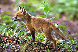 Red fox cub (vulpes vulpes) in a woodland clearing, Loughborough, Leicestershire, England, UK.