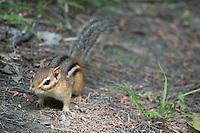 Wild chipmunk at Taughannock Falls, New York