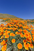 California State Flower Poppies
