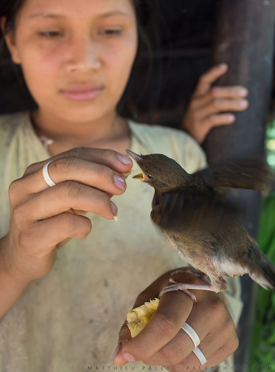 Feeding plantain to a captured bird. House of Jose, 75, one of the oldest Tsimane.