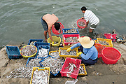 Freshly caught small fish being sorted and processed at the harbour for selling at the local fish market in the coastal fishing village of Ninh Hai, Ninh Thuan province, Central Vietnam.